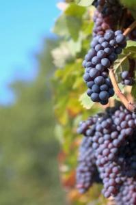 grape-resveratrol