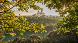 A view of the vineyards, Westbrook Winery, Auckland. Photo / Supplied