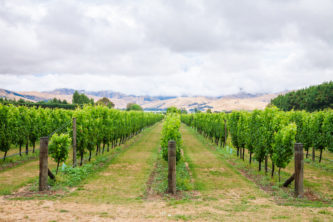 Ripening white grapes at a vineyard in Marlborough Region, country's largest winegrowing region with distinctive soils and climatic conditions, South Island of New Zealand. Photo: Getty Images